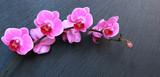 Orchidée phalaenopsis sur fond ardoise