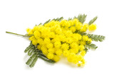 Yellow Mimosa flowers - 189076871