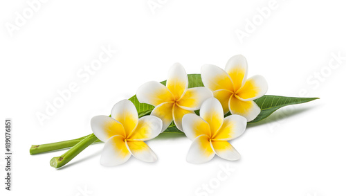 Plexiglas Plumeria Frangipani flowers and leaves