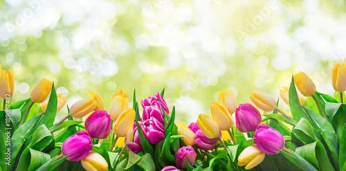 Fototapeta Frühling Karte Banner frisch Tulpen
