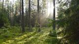 Fototapeta Forest - Puszcza Augustowska, Augustów, Poland © jadwiga.koniecko