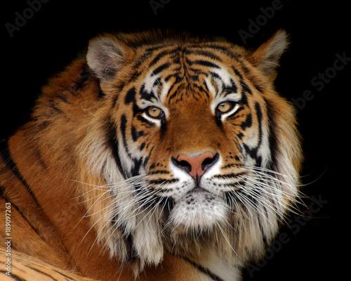 Fotobehang Tijger Tiger
