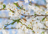 White cherry blossoms flowers branch Spring abstract, Honey bee flying.