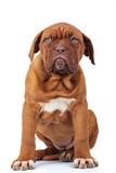 cute french mastiff ...