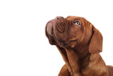head of a cute french mastiff looking up