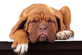 super lazy french mastiff puppy lies down on a table