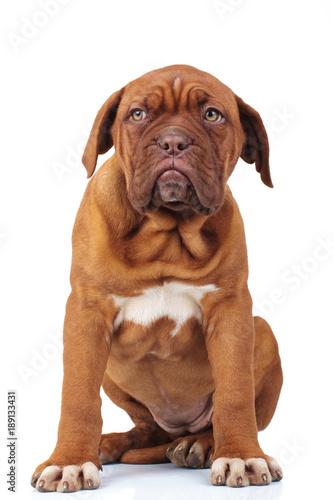 cute french mastiff puppy dog sitting Poster