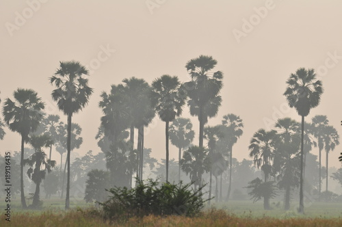 Fotobehang Baobab Rice fields, grass fields, grasses, sugar palm trees and white mist in the morning. Beautiful atmosphere.