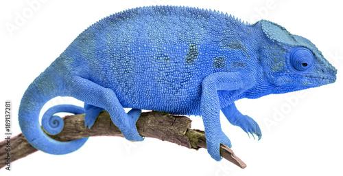 Fotobehang Kameleon caméléon bleu