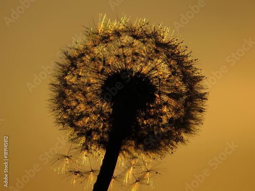 Obraz Fotograficzny dandelion in the dew at sunset