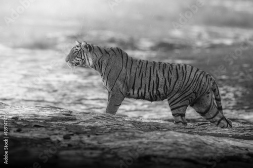 Keuken foto achterwand Panter Artistic, black and white photo of royal bengal tiger, Panthera tigris tigris, for fineart prints, close up to photographer with a touch of beautiful nature environment.