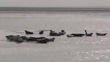 Phoque gris (Halichoerus grypus) en Baie d'Authie à Berck-sur-mer - 189148232