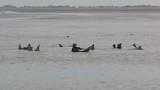 Phoque gris (Halichoerus grypus) en Baie d'Authie à Berck-sur-mer - 189148608