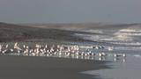 Sternes Caugek et mouettes en baie de Somme - 189149201