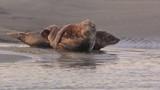 Phoques gris à Berck-sur-mer en Baie d'Authie - 189149437