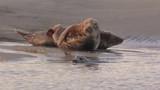 Phoques gris à Berck-sur-mer en Baie d'Authie - 189149478