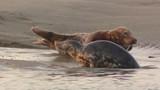Phoques gris à Berck-sur-mer en Baie d'Authie - 189149685