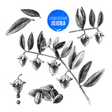 Jojoba nuts, branches and fruits - 189149857