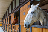 Horses in stable. White horse looking outside from the stall - 189151442