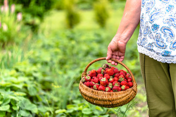 Senior farmer on strawberry farm with harvested strawberries in the basket, organic farming concept