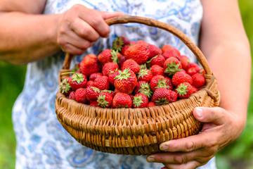 Farm fresh strawberry basket in a farmer hands, organic strawberries harvested on field