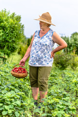 Woman in field during strawberry harvest, farmer holding basket with strawberries fresh harvested on farm