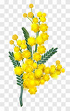 Yellow mimosa flower branch isolated on transparent background - 189157491