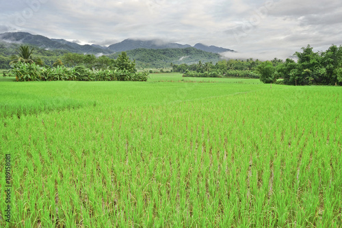 Papiers peints Vert chaux Paddy field and small mountain in the Morning time.