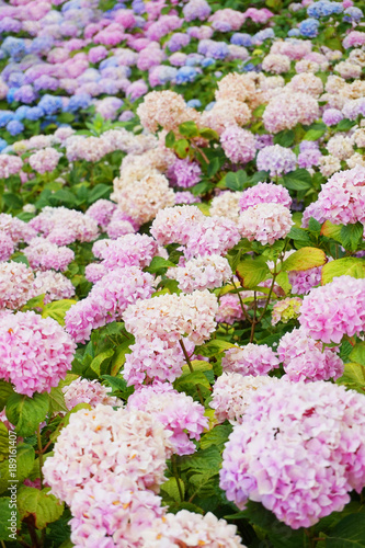 Fotobehang Hydrangea hortensia flowers background