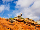 Desert Bighorn Sheep in Zion National Park Utah USA