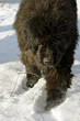 Newfoundland dog in the snow