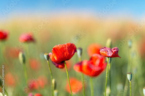 Poppies meadow closeup, Tuscany in spring