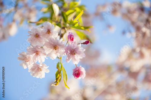 Fotobehang Kersen Pink flowers Cherry blossoms in Sakura spring season
