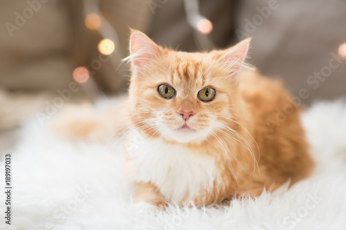 red tabby cat on sofa with sheepskin at home