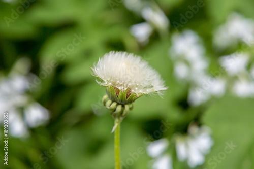 Fotobehang Paardenbloemen A Dandelion Seedhead
