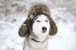 Huskies dog with fur cap with ear flaps