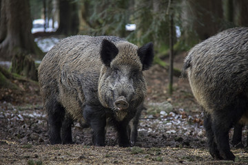 Portrait of Wild Boar in forest. Bavarian Forest National Park.