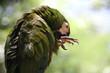 zielona papuga z bliska na zielonym rozmytym tle