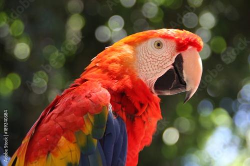kolorowa papuga ara z bliska w słoneczny dzień na zielonym rozmytym tle