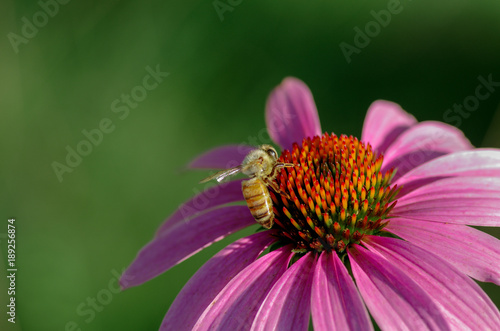Aluminium Bee Summer bee resting on pink coneflower