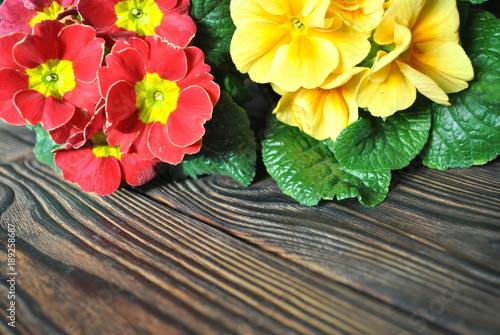Wiosenne pierwiosnki na drewnianym rustykalnym tle