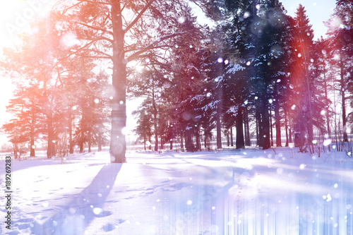 Fotobehang Lichtroze Winter forest on a sunny day. Landscape in the forest on a snowy