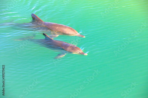 Aluminium Dolfijn Two cute dolphins swim in clear waters of Monkey Mia, a marine reserve near Denham, Shark Bay, on coral coast in Western Australia. Monkey Mia is the only place in Australia visited daily by dolphins.