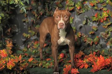Brown American Pit Bull Terrier