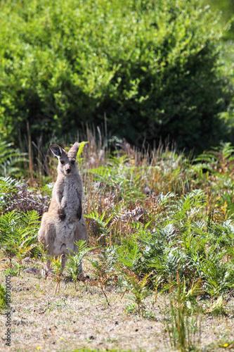 Fotobehang Kangoeroe Östliches Graues Riesenkänguru (Macropus giganteus) im Wilsons Promontory Nationalpark, Victoria, Australien; die Kängurus im Nationalpark tragen für ein Forschungsprojekt Halsbänder und Ohrmarken.