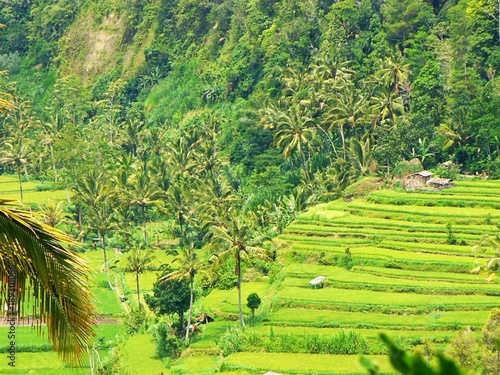 Foto op Canvas Lime groen Beautiful rice fields in Bali, view of the rice field, green rice field, color of nature in Bali, beautiful landscape