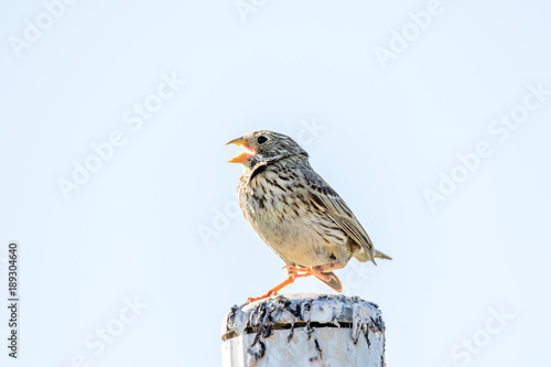 Papiers peints Nature Singing Corn bunting (Emberiza calandra) while on one leg in the Argonne