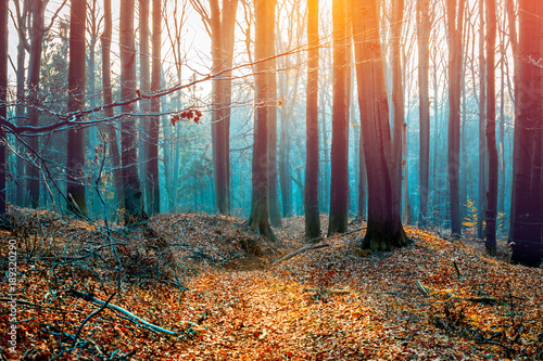 Keuken foto achterwand Natuur Beech trees autumn forest during sunset