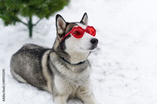 Cute huskies dog with red glasses on the eyes. Poster