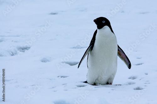 Fotobehang Antarctica Adelie penguin antarctica 2